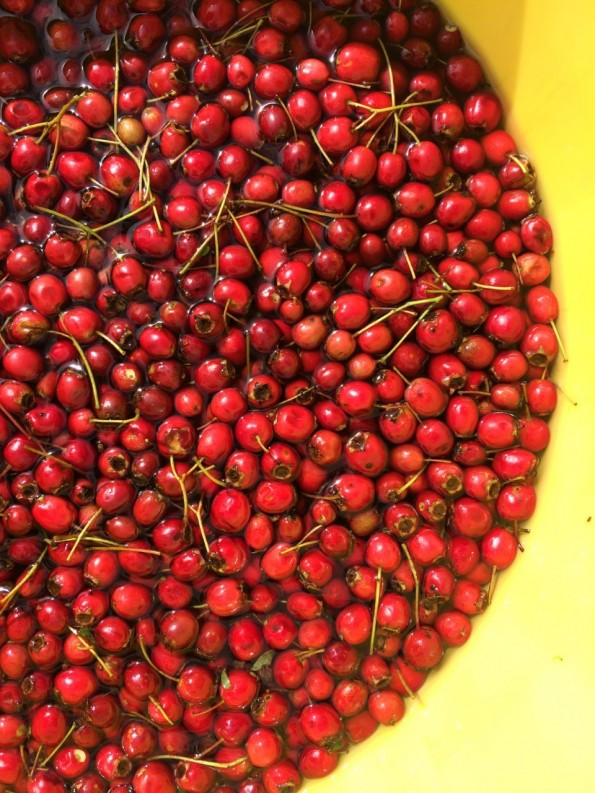 haws-in-yellow-bucket